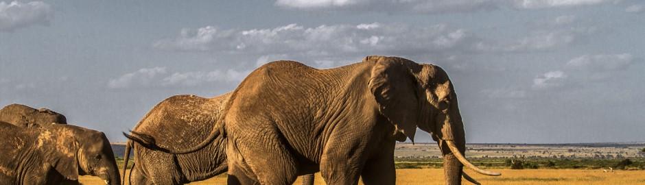 Amboseli-elephant