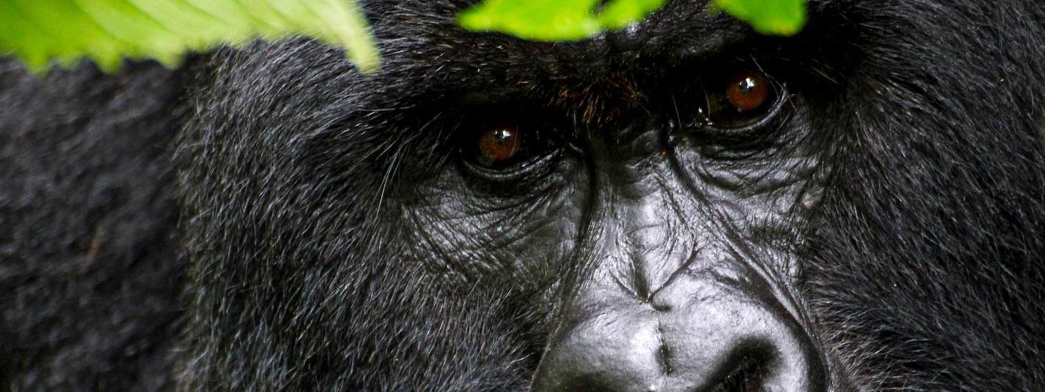 rat-gorilla-trek-rwanda1