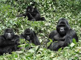gorila express2